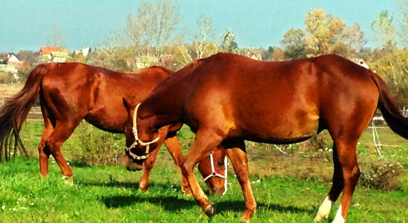 kancak-csikok7-red-horse-ranch
